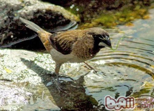 十姐妹文鸟是什么品种?