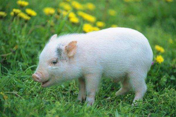 猪价突破40元,养殖户为什么有猪却不卖?