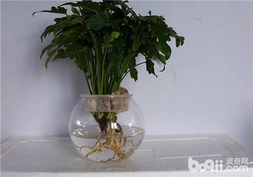 为什么水培花卉需要经常换水?