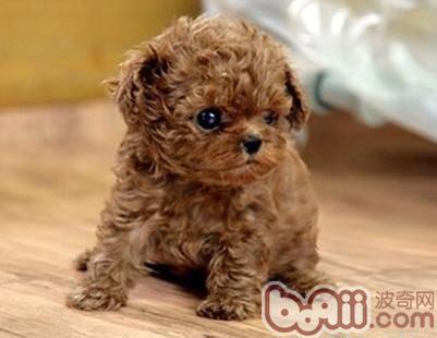 为什么不要带泰迪幼犬出门?