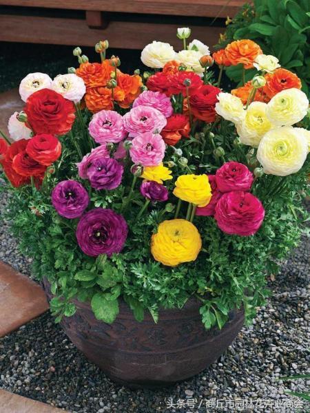 想把漂漂亮亮的花毛茛养在家里,但是该怎么养护呢?
