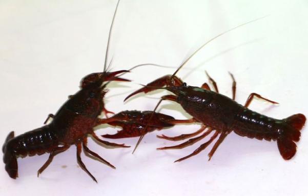 宠物小龙虾怎么养