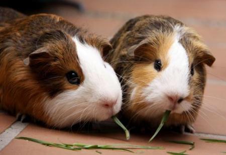怎样分辨豚鼠的年龄?