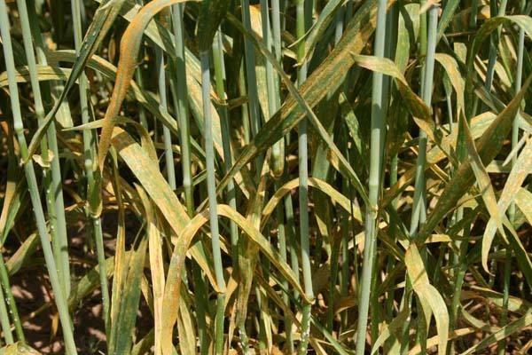 玉米秸秆还田,为什么还要撒尿素?