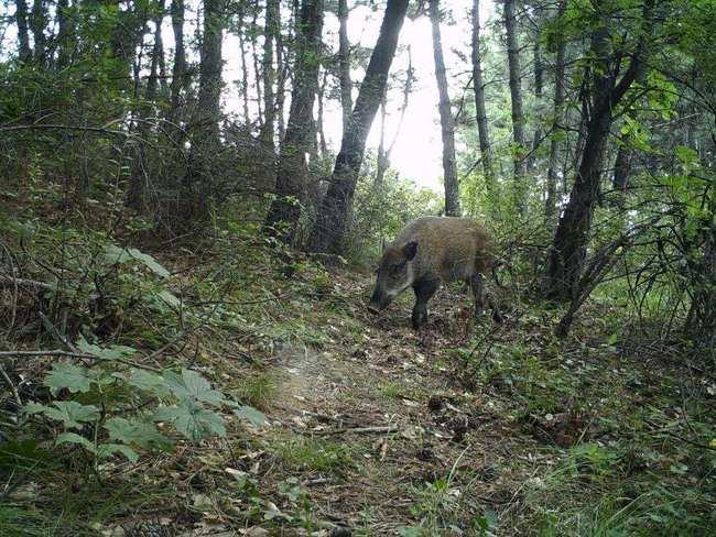 从保护到猎杀!野猪局部泛滥,是生态变好还是变坏了?