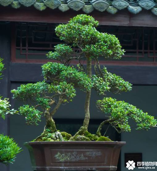 黄杨盆景造型技巧图解!手把手教你如何制作漂亮的黄杨盆景?