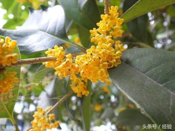 桂花树得缺铁病怎么办?