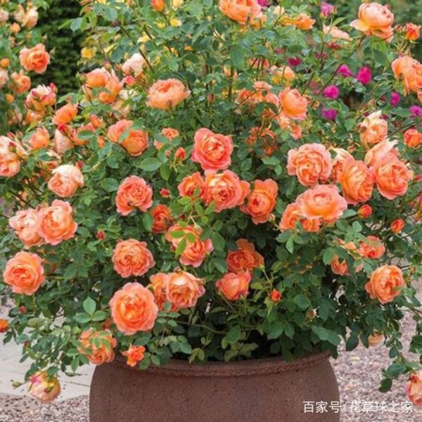 如何让盆栽月季开花美艳,月月不断,全都离不开它?