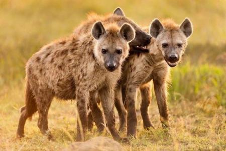 """雄狮是如何从鬣狗群中辨认出""""鬣狗女王""""的?"""