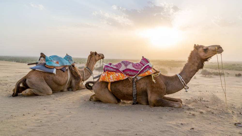 沙漠中渴死的駱駝不能碰?貝爺的駱駝疑案可能是假的,你被騙了!的頭圖