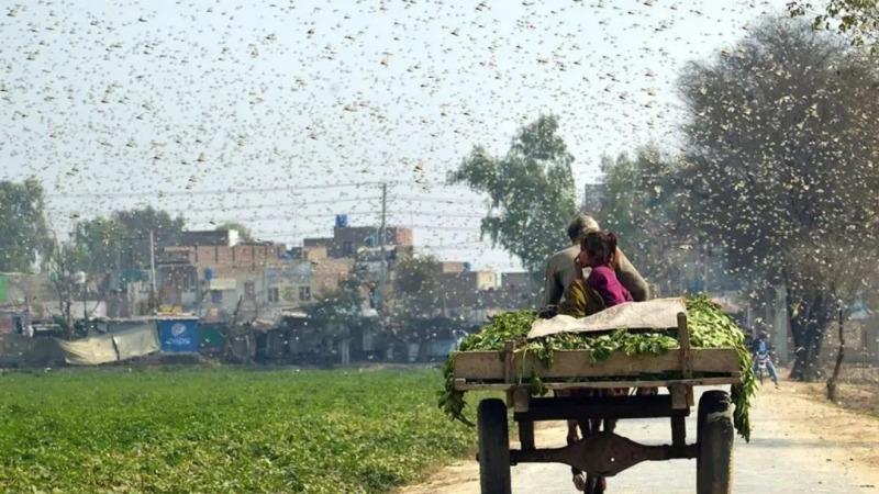 浙江10萬只鴨子出征巴基斯坦滅蝗?假的!