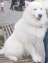 萨摩耶犬的常见疾病有哪些?
