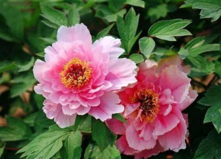 牡丹花移植到花盆怎么养?