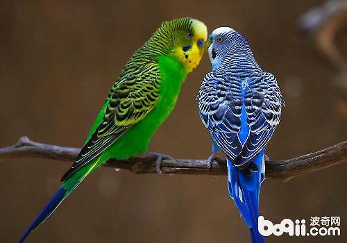 虎皮鹦鹉吃什么比较好?