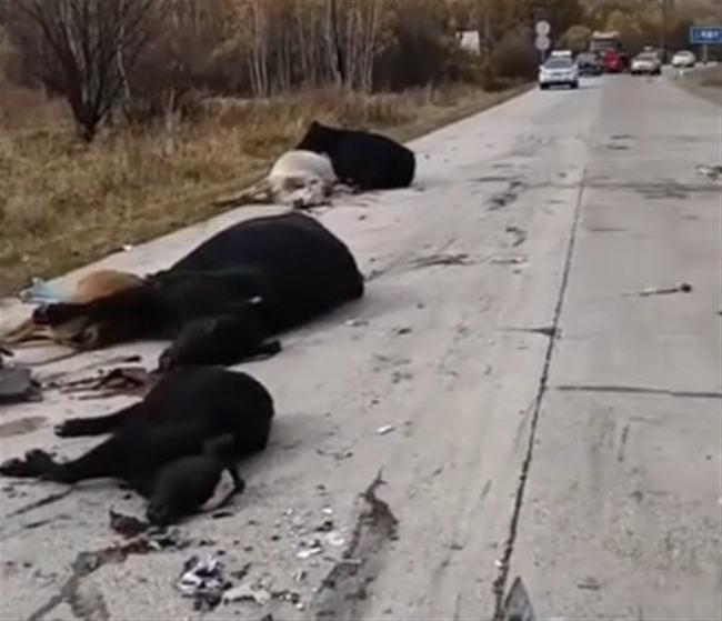 货车撞上牛群,撞死14头牛:汽车遇到动物为何无法躲开?