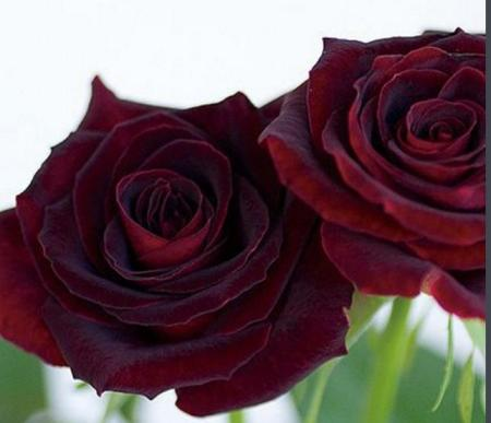 黑色玫瑰花语是什么,黑色玫瑰图片