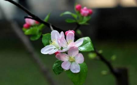 海棠花怎样养 才能四季开花?