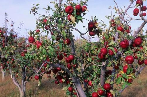 苹果树叶子可以直接埋在地里做肥料吗?