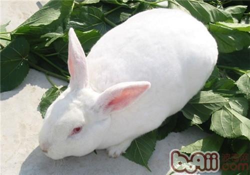 适合我国饲养的肉兔品种有哪些?