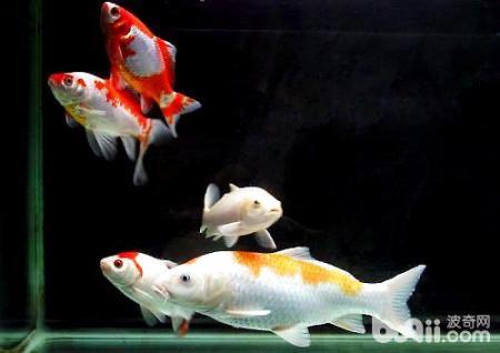 锦鲤鱼适合什么样的生活环境?