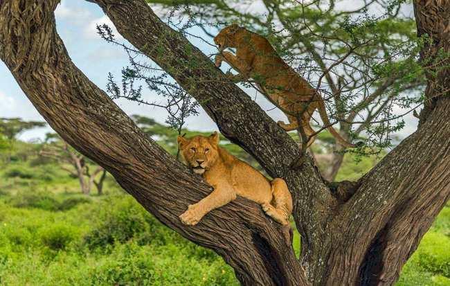 为什么雄狮有1厘米长的倒刺,在繁衍时还要故意刮伤对方?
