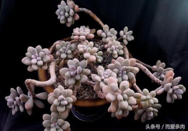 多肉植物说 - 论多肉植物如何养成老桩?