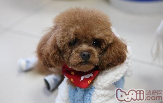 第一次饲养泰迪犬的注意事项有哪些?