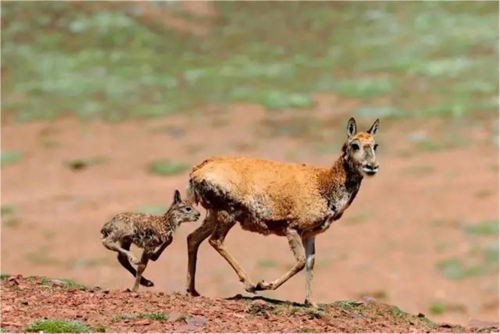 可可西里迁徙中的藏羚羊,到底是最怕狼,还是棕熊?