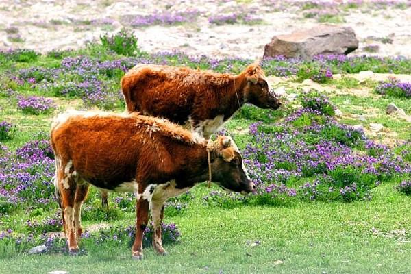 在农村,养羊好,还是养牛好?