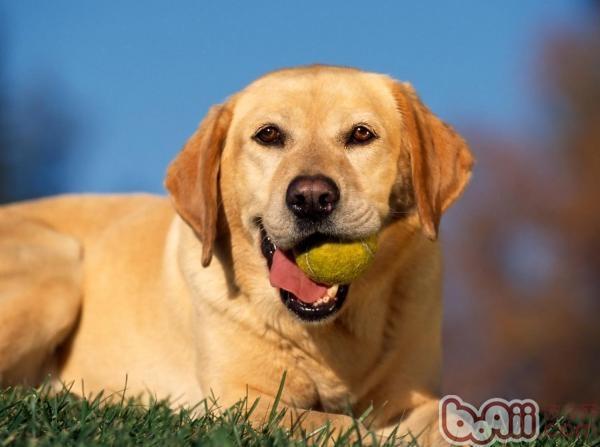 在家如何训练狗狗学会基础技能?