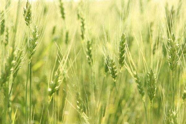老农种水稻从未施过农药,水稻照样高产,是怎样做到的?