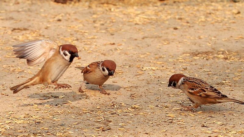 麻雀的寿命是多长,为什么很少看见死去的麻雀?