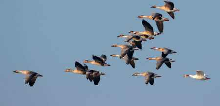 大雁南飞那么危险,为什么它们不一直在南方生存,而是来回迁徙?