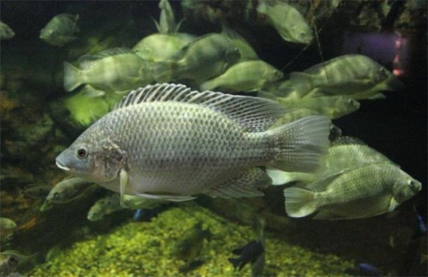 罗非鱼被中国列为入侵物种,为什么吃货们不吃罗非鱼?