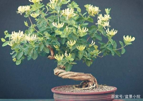金银花盆景的栽培管理方法有哪些?