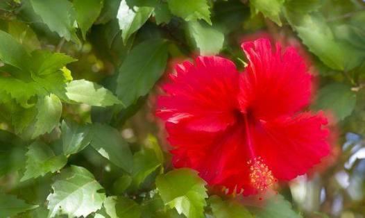 扶桑花怎么可以多开花 原来老花农这样做 简单方便?