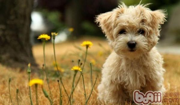 泰迪犬的性格特点有哪些?