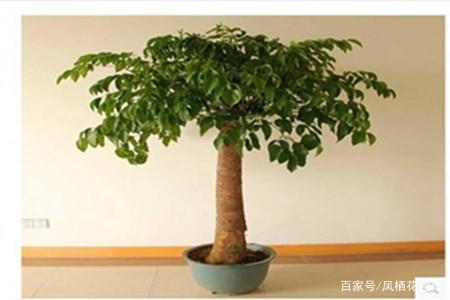 幸福树树干怎么能变粗?