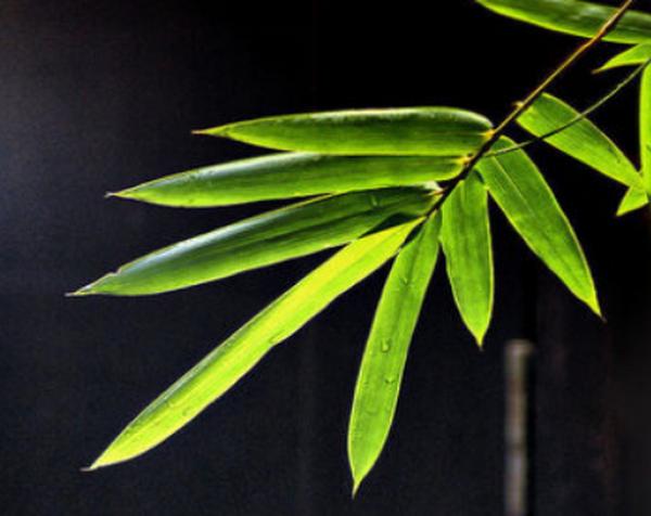淡竹叶的功效与作用 (中药)竹叶与淡竹叶的区别