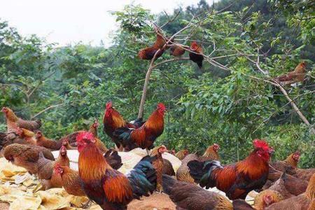 现在农村养土鸡的人还是很多,为什么城里人却很少买了?