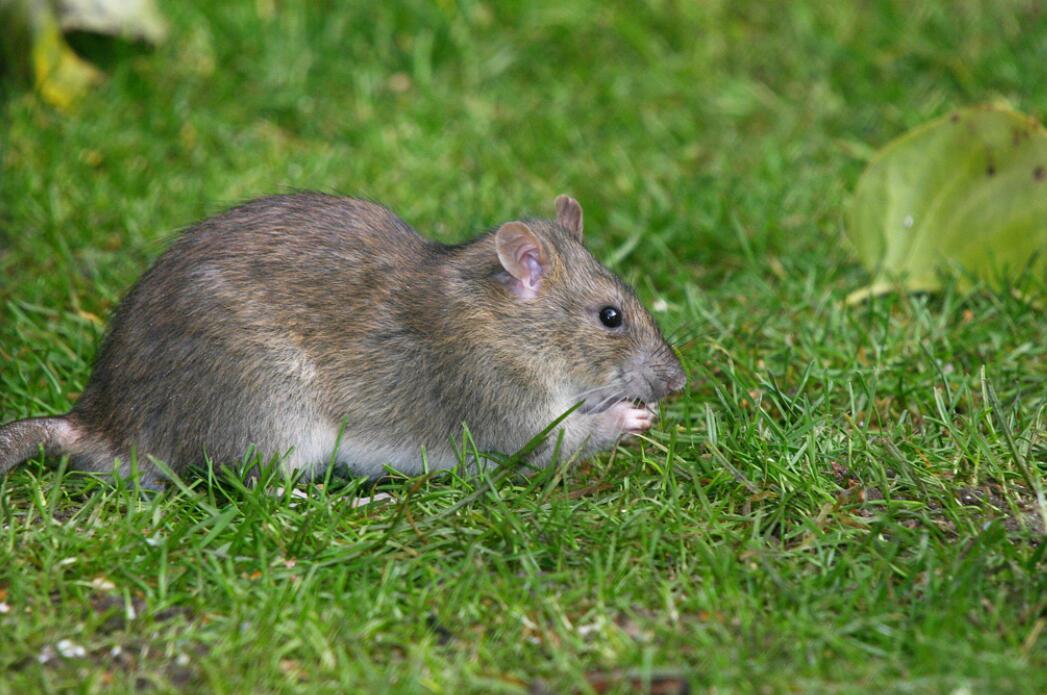 所有老鼠灭绝才好?如灭绝了,对人类有什么多大?你很难相信