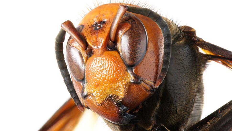 杀人黄蜂是如何到达美国的?亚洲大黄蜂入侵北美,毒液可杀死人类