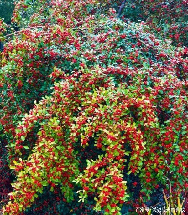 绿化带小红果子是什么植物?