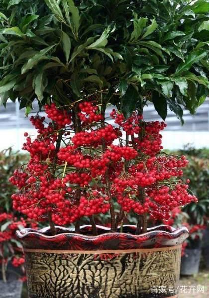 富贵籽有什么寓意,怎么播种,后期怎么养护?