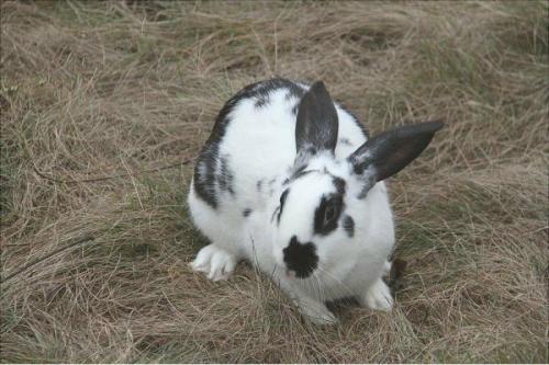 有些农民养的肉兔45天就出栏,到底是怎么回事?