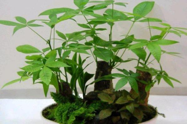 发财树春天怎么养才能长得旺盛?