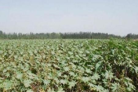 以前在农村常见种植蓖麻,为什么现在种植少了?