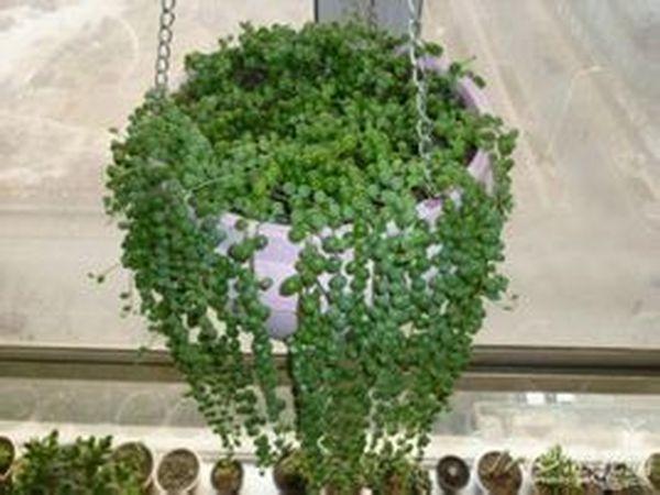 有一种满身珠珠的植物叫什么