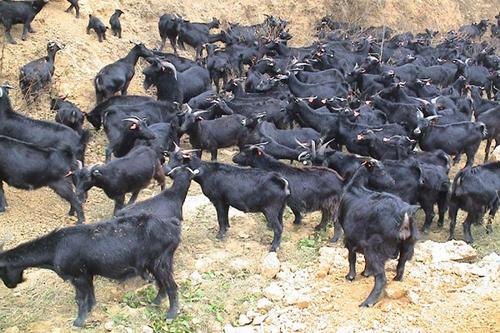 养殖户要怎样喂黑山羊才能有高收益?