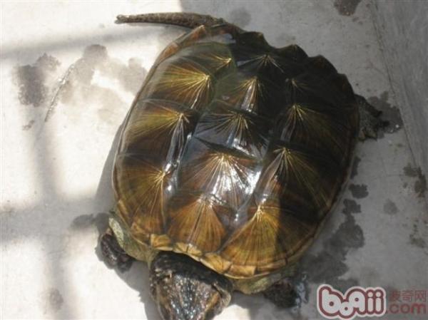 拟鳄龟小鳄龟是什么品种?(图)